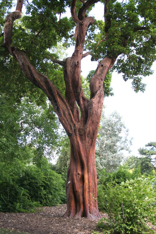 CULTIDELTA : Arbutus x andrachnoides