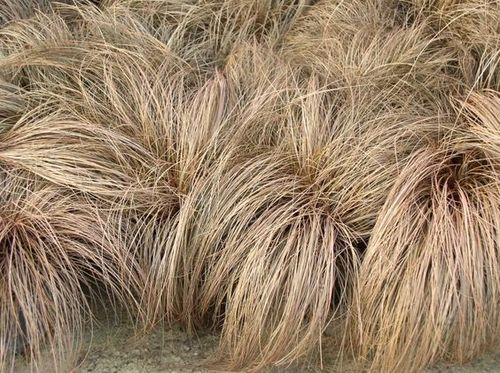 "CULTIDELTA : Carex comans ""Bronze"""