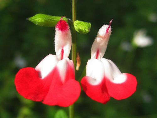 "CULTIDELTA : Salvia microphylla ""Hot Lips"""